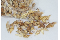 Conchiglia Lopithoma Cm 4/6 Gr250