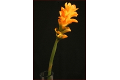 Ginger Flower A Gambo Lungo 70 Cm